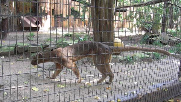 Heidelberger-Zoo_Fossa