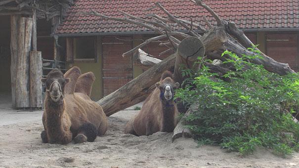 Heidelberger-Zoo_Kamele