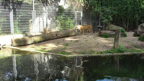 Heidelberger-Zoo_Tiger