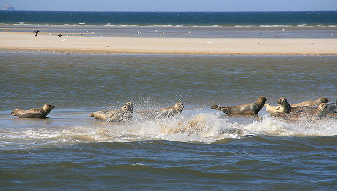 Seehundbänke-Wangerooge_Seehunde