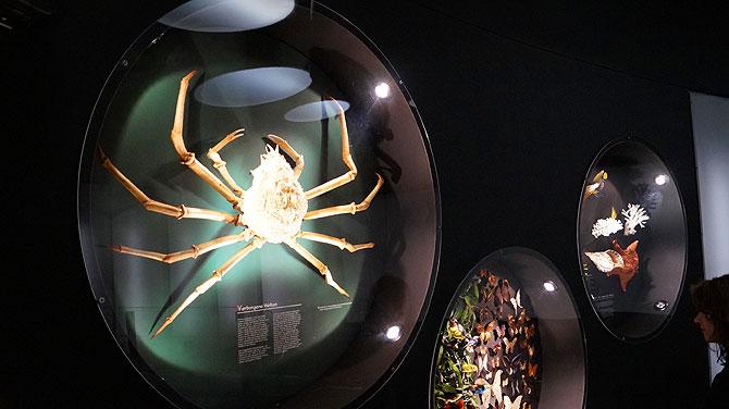 Bamberger-Naturkundemuseum_Riesenkrabbe