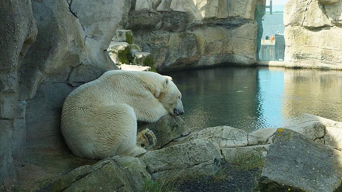 Eisbär in Bremerhaven müsste man sein