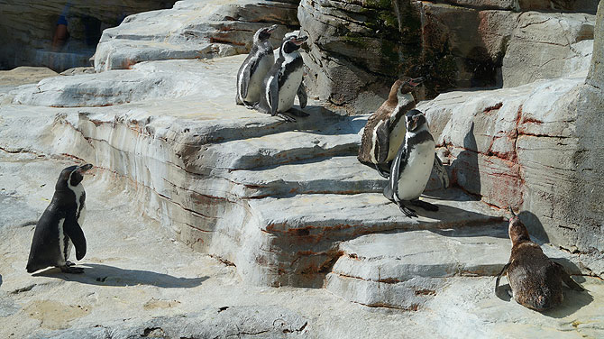 Zoo-am-Meer-Bremerhaven-Pinguine
