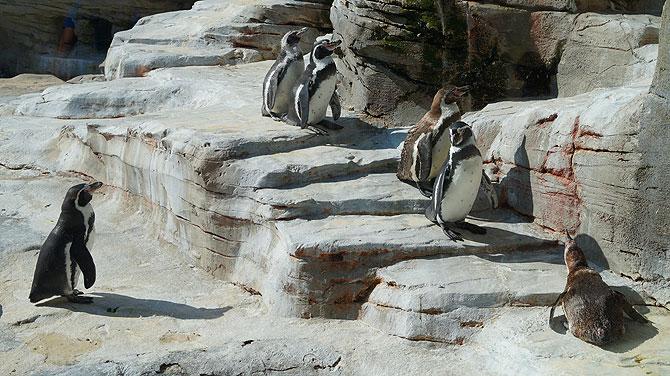 Zoo-am-Meer-Bremerhaven-Pinguine