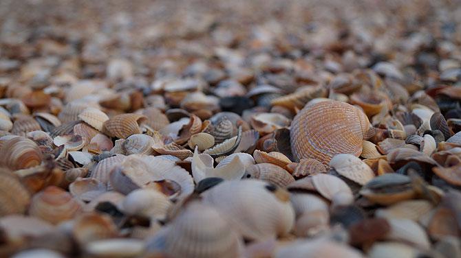 Muscheln auf der Nordsee-Insel Minsener Oog