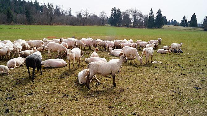 Schafe gibt es eine Menge, auch schwarze.