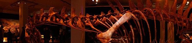 Panoramaaufnahme des Dinoskeletts eines Spinosaurus