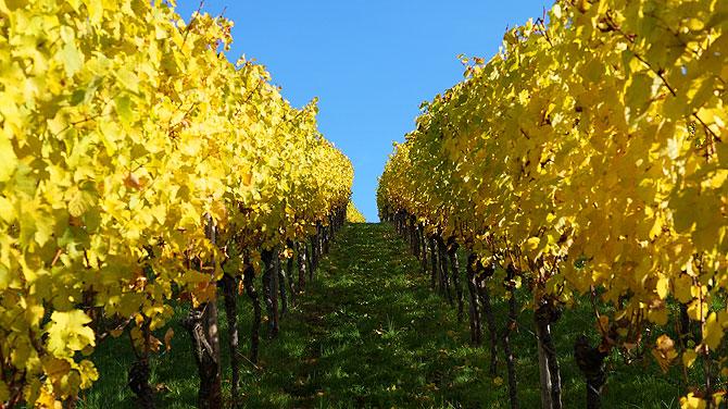Flucht durch Weinreben