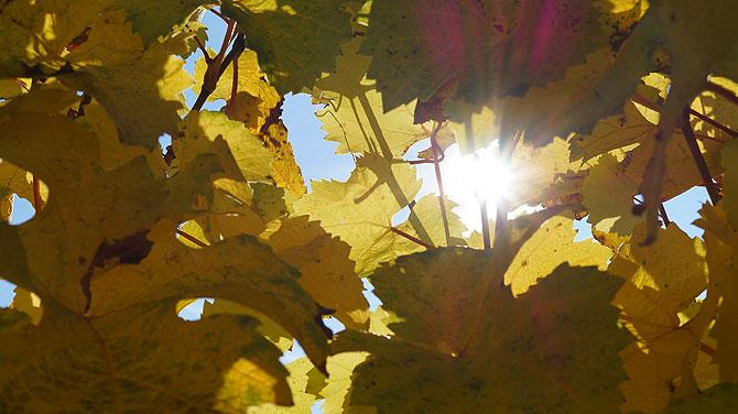 Sonne scheint durch Weinreben