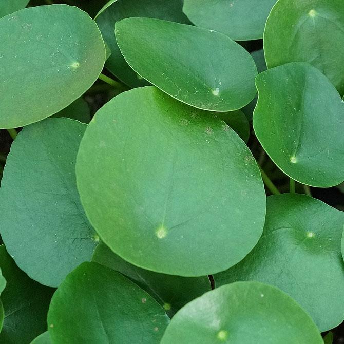 Ufopflanze alias Glückstaler alias Pilea