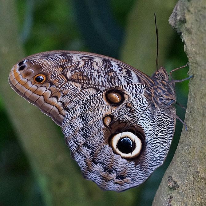 Toll, wie Schmetterlinge andere Tiere durch große Augen nachahmen.