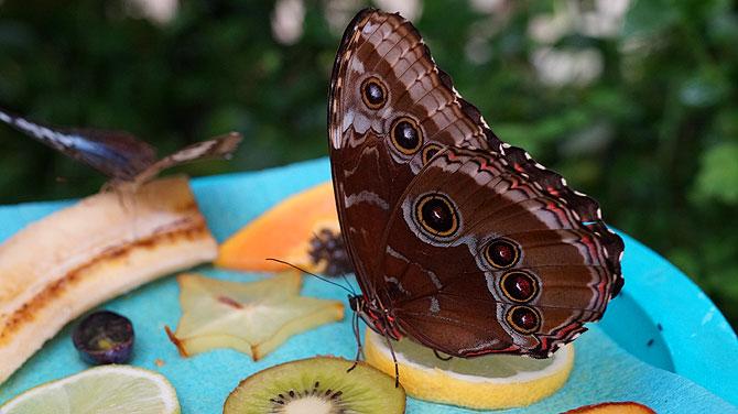 Schmetterling bei der Mittagspause