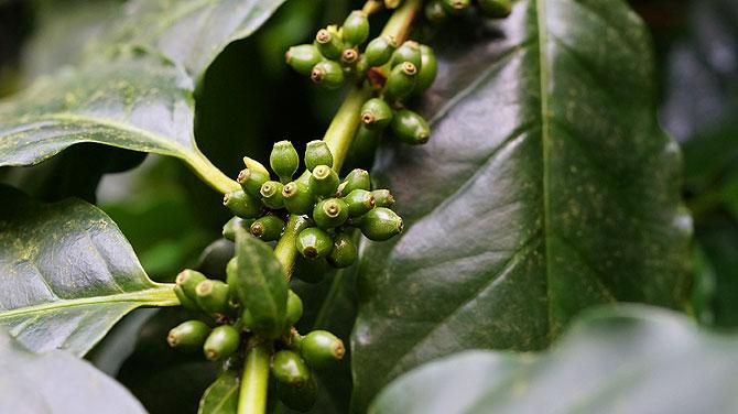 Kakaobohne, oder ist es doch eine Kaffebohne?