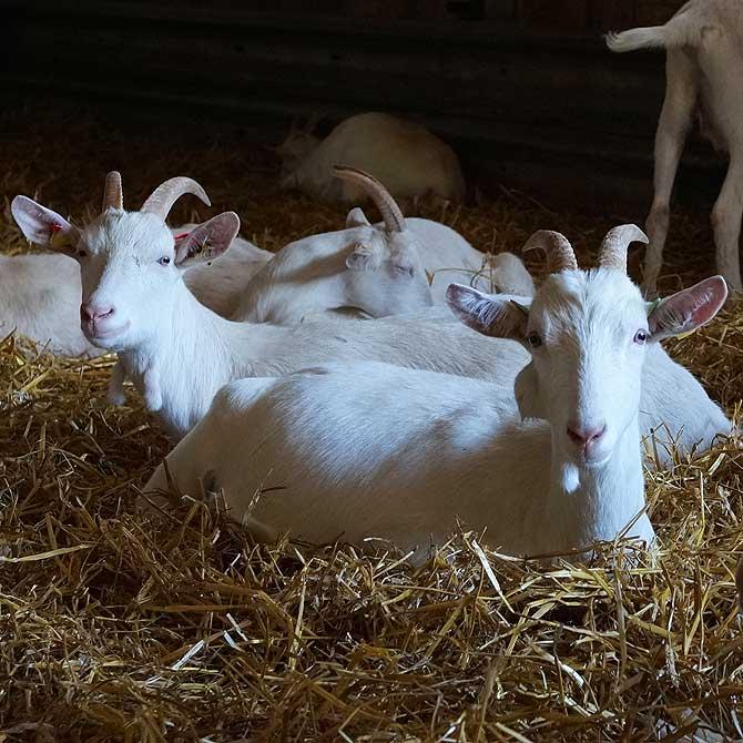 Auf dem Ziegenhof gibt es viele Ziegen