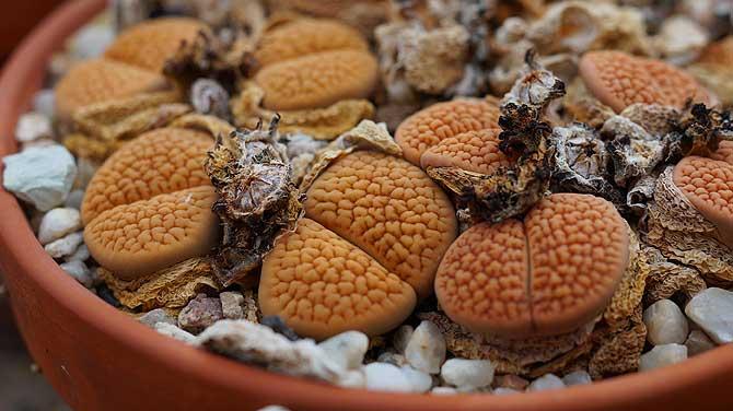 Lebende Steine, die wie Gehirne aussehen