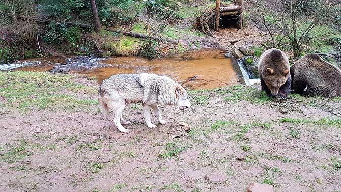 Wolf und Bär in einem Gehege