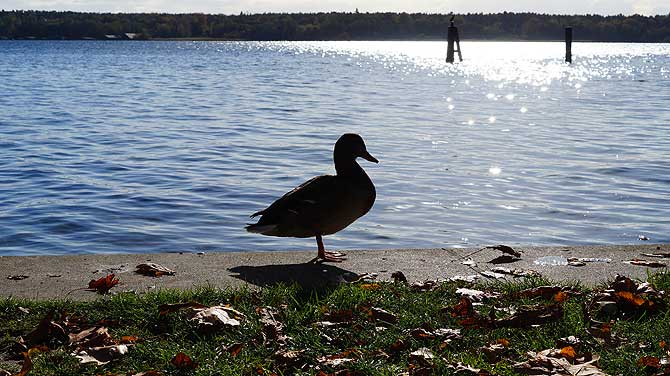 Ente am Müritz-Ufer