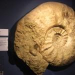 Riesenammonit