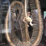 Schlangenskelett