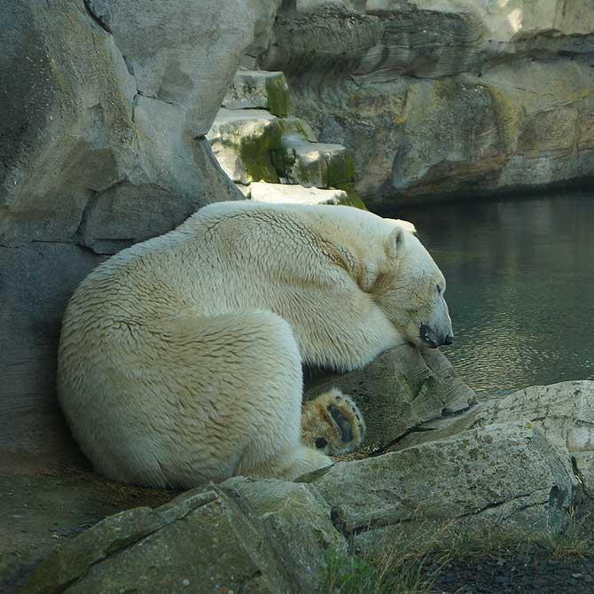 Eisbär, weder Knut noch Flocke
