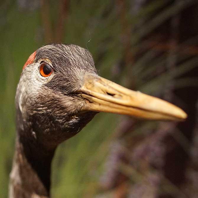 Kraniche sind beliebte Vögel