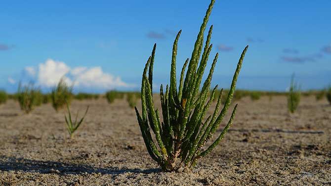 Queller ist eine häufige Pflanze an der Nordsee