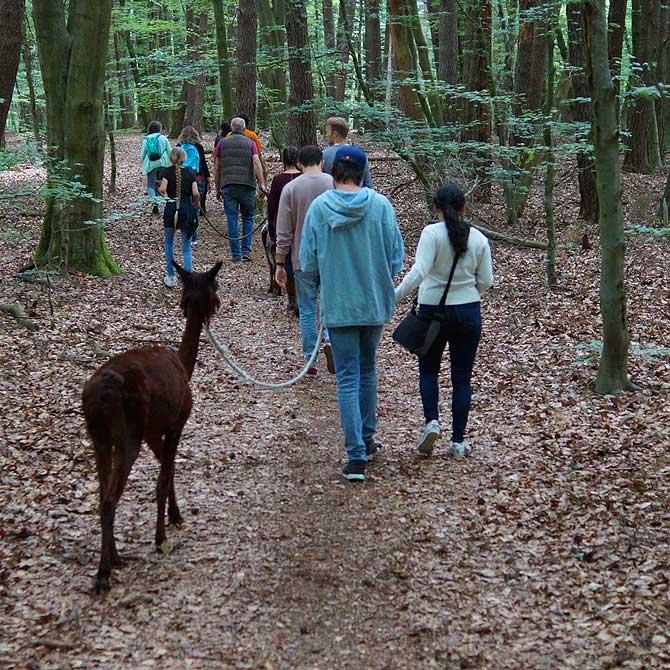Mit den Alpakas wandern durch den Wald