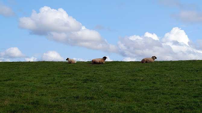 Schaf sollte man sein