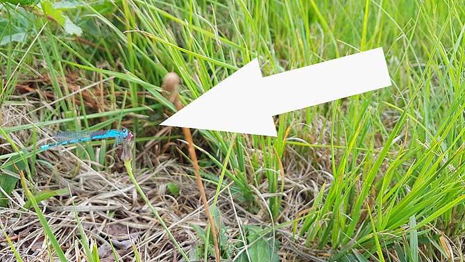 Viele Libellen auf dem Weg