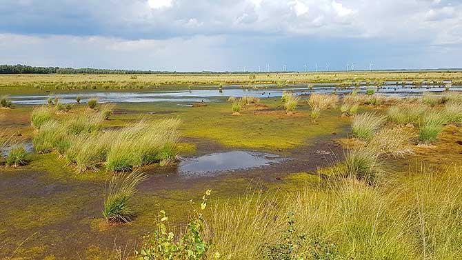 Wollgras und Pfeifengras im Moor