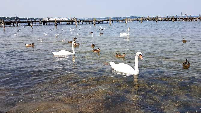 Schwäne und Enten füttern