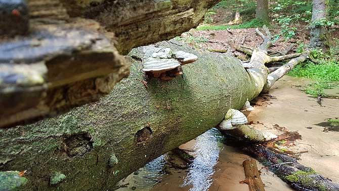 Die Pilze wachsen zum Wasser hin, nicht zum Baum