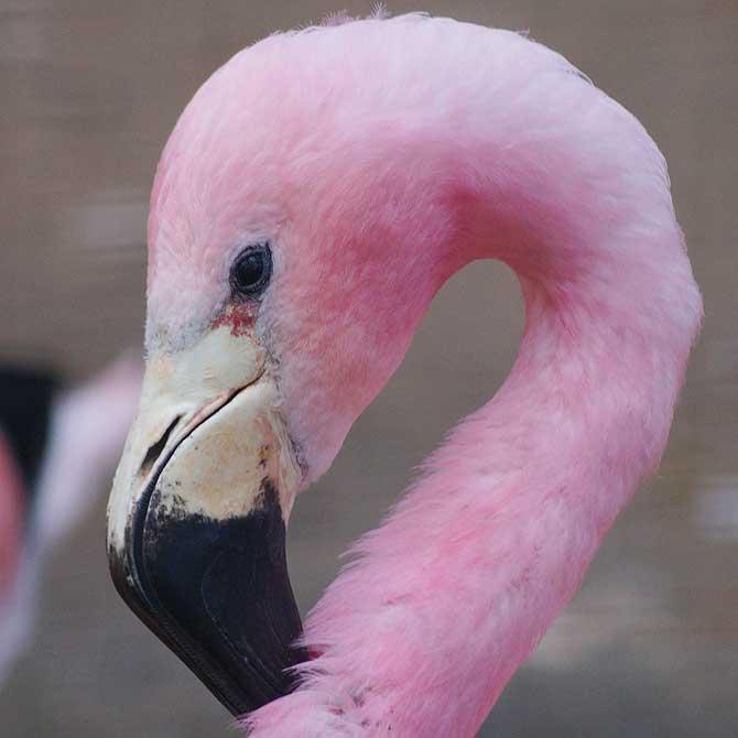 Flamingo im Berliner Zoo