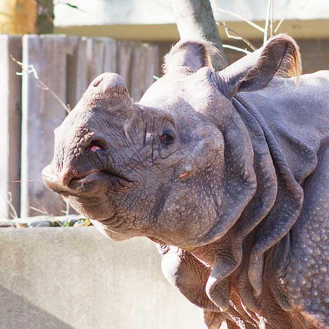 Nashorn im Zoo Berlin