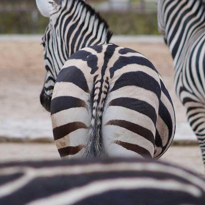 Zebra Hintern