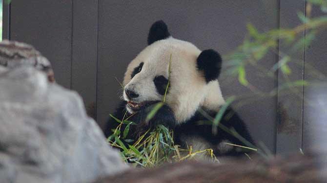 Panda Bär ist süß