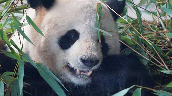 Panda isst