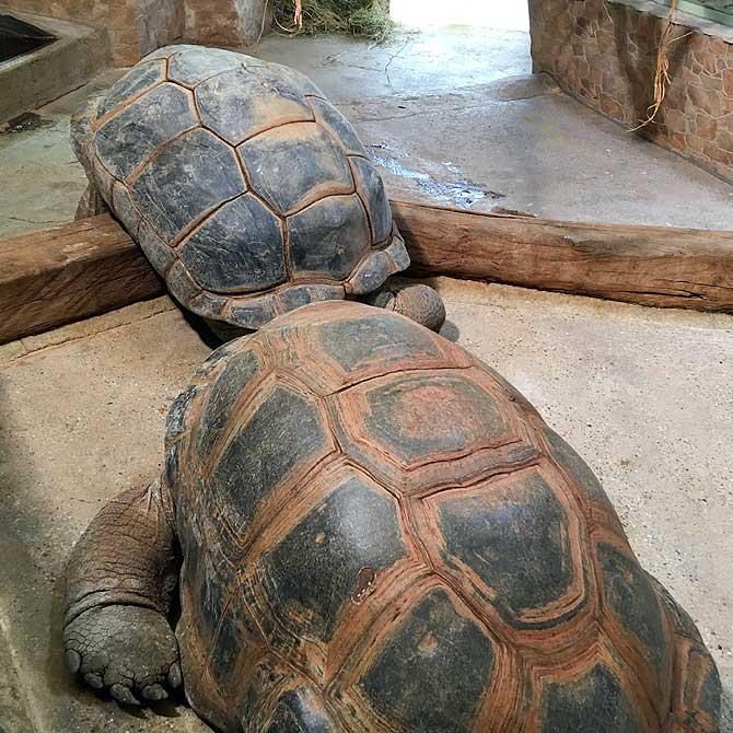 Sehr alte Schildkröte
