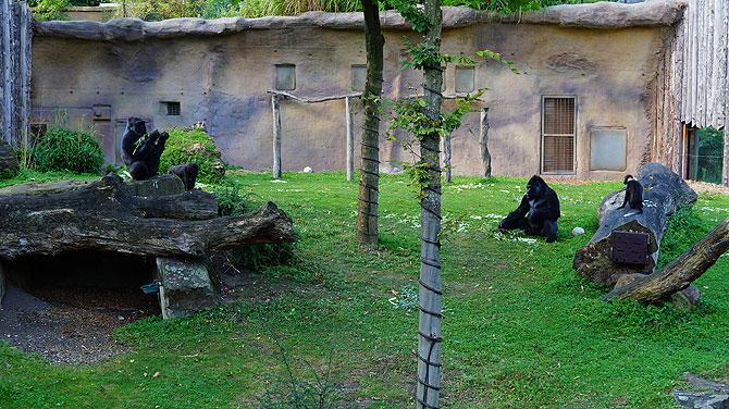 Gorillas im Allwetterzoo