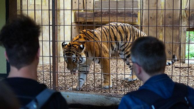 Wundervolle Tiger im Allwetterzoo