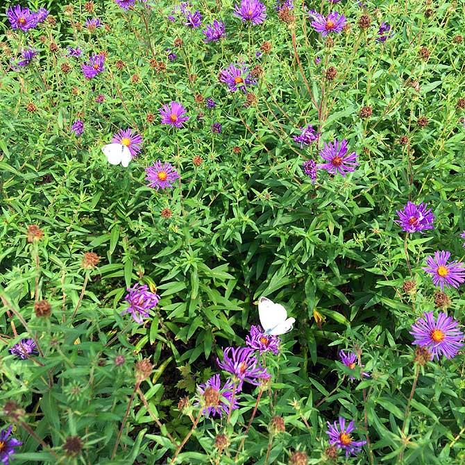 Weisse Schmetterlinge