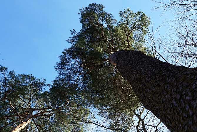 Mammutbaum auf dem Herzog Jäger Pfad Waldenbuch