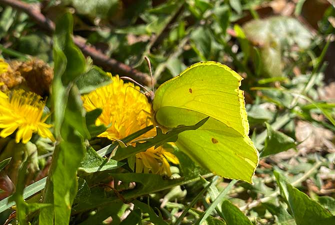 Schöner gelber Schmetterling
