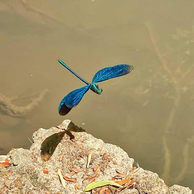 Blauflügel Prachtlibelle im Flug