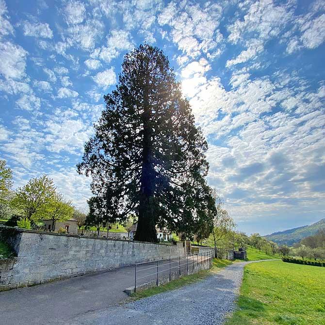 Mammutbaum auf dem Friedhof Ochsenbach