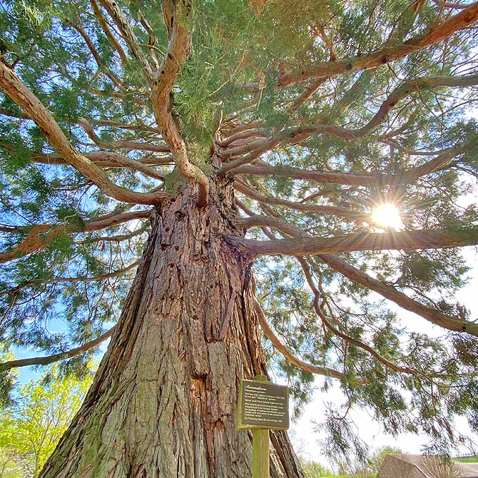 Schöner Mammutbaum in Ochsenbach