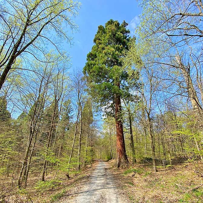 Wanderweg mit Mammutbaum
