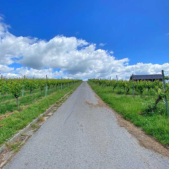 Felder und Weinberge von Steinheim