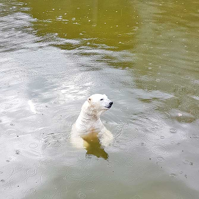 Eisbärdame Tonja im Berliner Tierpark