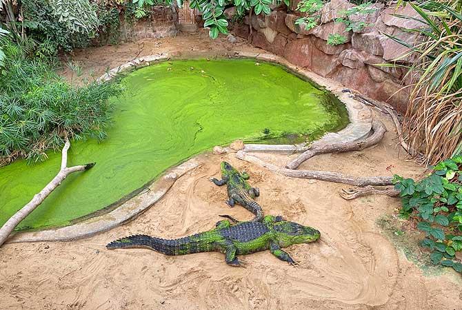 Krokodile oder Kaimane?